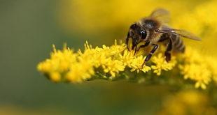 makrofotografie biene gelb pflanze insekt blüte