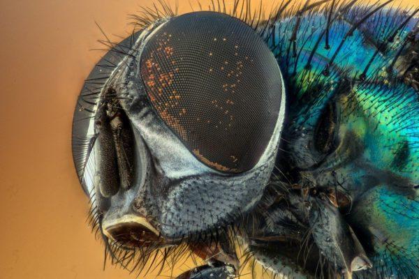 Makroaufnahme der Facettenaugen einer Fliege